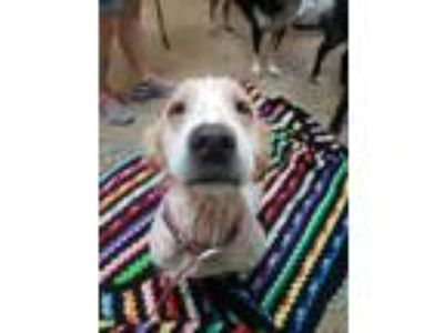 Adopt Donut a White - with Brown or Chocolate Golden Retriever / Mixed dog in