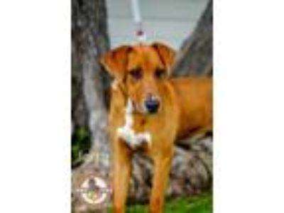 Adopt Jerry a Red/Golden/Orange/Chestnut Labrador Retriever / Hound (Unknown