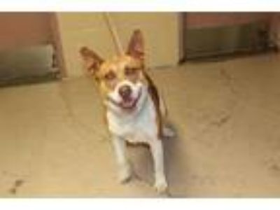 Adopt Ben a Tan/Yellow/Fawn Basenji / Mixed dog in Albany, OR (25497562)