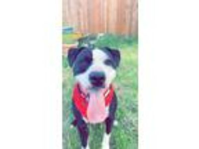 Adopt Chevy a Black - with White American Pit Bull Terrier / Hound (Unknown