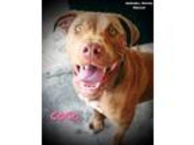 Adopt Coco a Brown/Chocolate - with White Labrador Retriever / Pit Bull Terrier