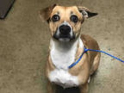 Adopt KALI a Brown/Chocolate Whippet / Terrier (Unknown Type