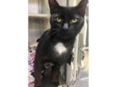 Adopt Zahra a All Black Domestic Shorthair / Domestic Shorthair / Mixed cat in