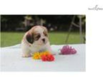 Lovely Lhasa Apso: Annelle (F)