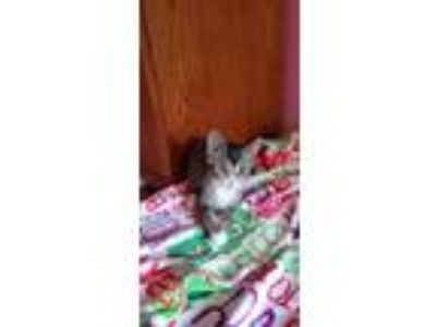 Adopt Rachal a Brown or Chocolate (Mostly) Domestic Shorthair / Mixed cat in