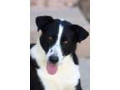 Adopt Sima a Border Collie