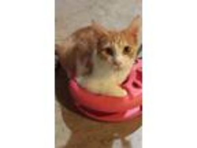Adopt Jefferson a Orange or Red Tabby Domestic Shorthair (short coat) cat in