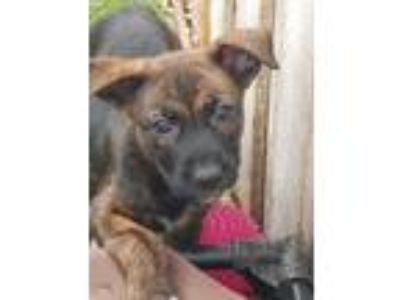 Adopt Moxie DD a Brindle - with White Husky / Pit Bull Terrier / Mixed dog in