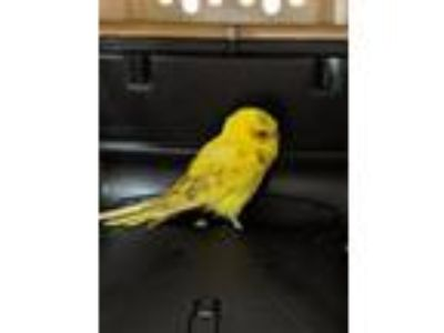 Adopt Lime Laurie Coolidge a Parakeet - Other bird in Fall River, MA (25597716)