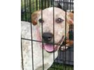 Adopt Allie a Labrador Retriever