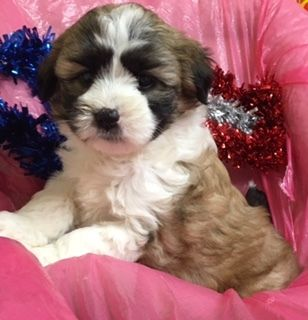 Miniature Bernedoodle PUPPY FOR SALE ADN-104340 - CHRISTMAS  mini Bernedoodle maryland puppy