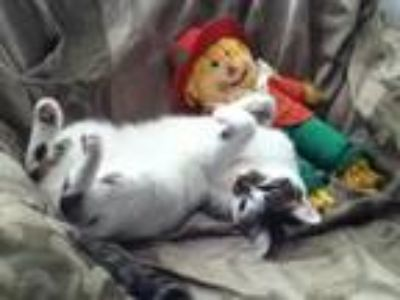 Adopt Bacara a White (Mostly) Domestic Shorthair cat in Breinigsville