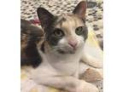 Adopt Alaska a Calico or Dilute Calico Calico / Mixed (short coat) cat in