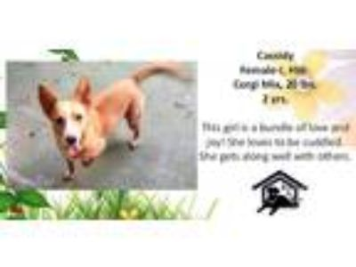 Adopt Cassidy a Tan/Yellow/Fawn - with White Corgi / Mixed dog in Monroe