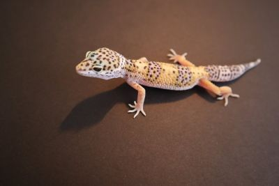 Baby Leopard Gecko Hatched 4-1-18