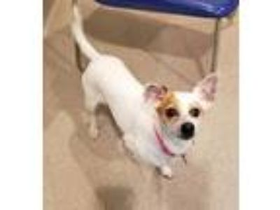 Adopt Daisy a Jack Russell Terrier