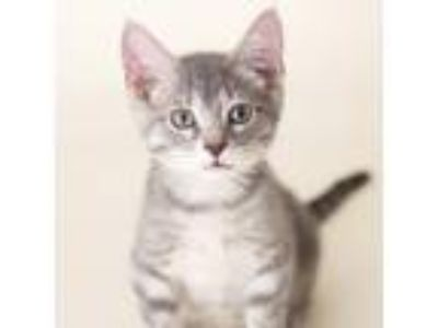 Adopt Poppy a Gray or Blue Domestic Shorthair cat in St. Paul, MN (25936463)