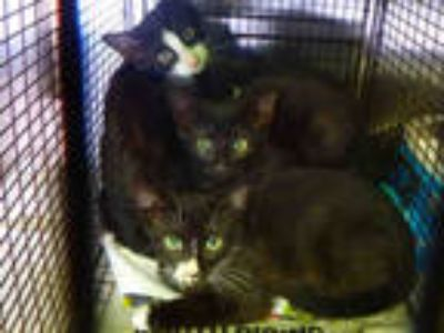 Adopt ADDY a All Black Domestic Shorthair / Mixed (short coat) cat in Los