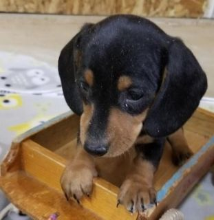 affable Miniature Dachshund puppies ready