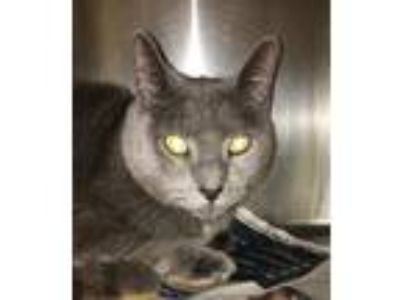 Adopt Candy a Domestic Shorthair / Mixed cat in Grand Rapids, MI (25314560)