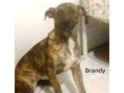 Adopt Brandy a Brindle Catahoula Leopard Dog / Mixed dog in Mexia, TX (23879560)