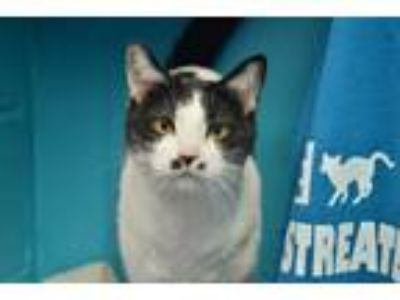 Adopt Jersey a Black & White or Tuxedo Domestic Shorthair (short coat) cat in