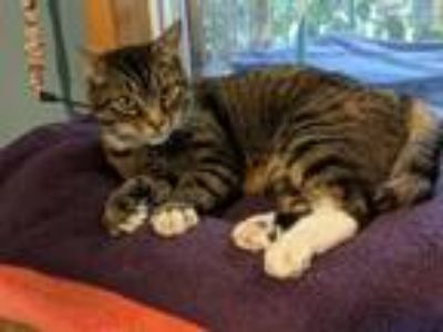 Adopt Tiny Tim a Domestic Short Hair, Tabby