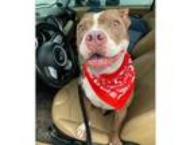 Adopt Brooks a American Staffordshire Terrier