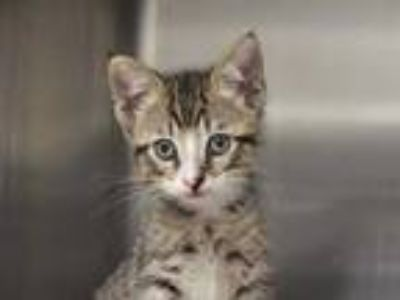 Adopt LUCY a Brown Tabby Domestic Shorthair / Mixed (short coat) cat in