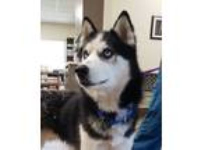 Adopt Barkley a Black - with White Siberian Husky / Mixed dog in Winter Springs