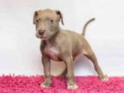 Adopt KANE a Brown/Chocolate American Pit Bull Terrier / Mixed dog in