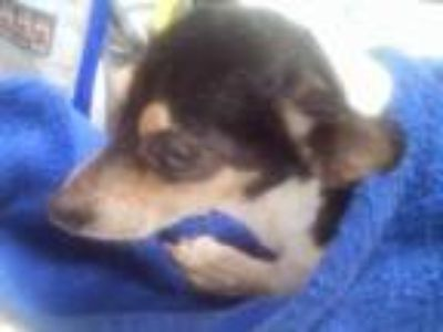 Adopt China a Black Rat Terrier / Mixed dog in Fort Worth, TX (25345833)