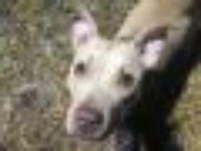 Lima Bean Pit Bull Terrier Dog