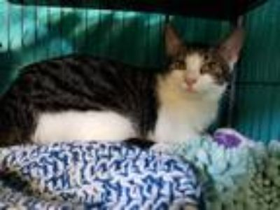 Adopt Tinsel a White (Mostly) Domestic Shorthair / Mixed cat in Dickson