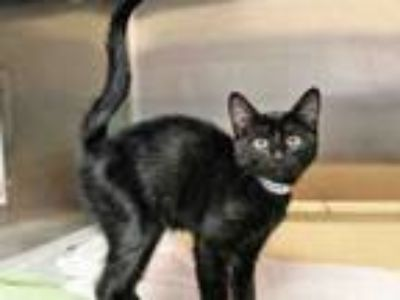 Adopt ARMSTRONG a Domestic Short Hair