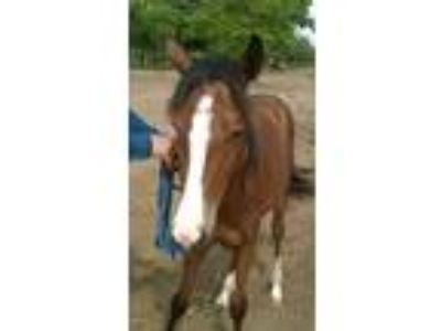 Adopt Gazelle a Bay Quarterhorse horse in Hitchcock, TX (16371530)
