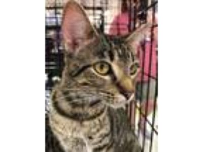 Adopt Rose a Domestic Short Hair