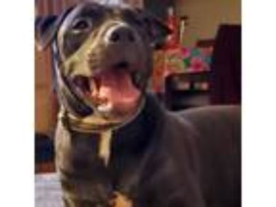 Adopt Cocoa a American Staffordshire Terrier, Pit Bull Terrier