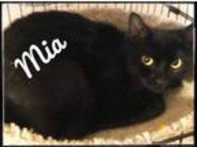 Adopt Mia the Plush Coat a All Black Domestic Mediumhair (medium coat) cat in