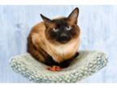 Adopt Pop a Siamese / Mixed (short coat) cat in Park City, UT (25560680)