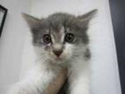 Adopt Zaxby a Gray or Blue Domestic Mediumhair / Domestic Shorthair / Mixed cat