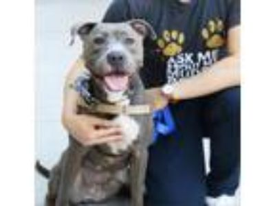 Adopt Zena a Pit Bull Terrier, Mixed Breed