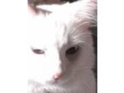 Adopt Fluffy a White American Shorthair / Mixed (medium coat) cat in yorba
