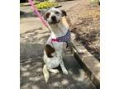 Adopt Cocoa a Pointer, Cattle Dog