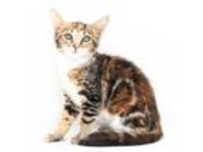 Adopt Could Tina be any more terrific?! Not possible! a Bengal, Maine Coon