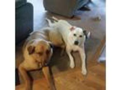 Adopt Bud a White - with Brown or Chocolate Rhodesian Ridgeback / Dalmatian dog
