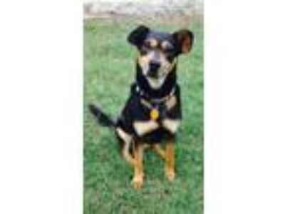 Adopt Ruger a Black - with Tan, Yellow or Fawn Terrier (Unknown Type
