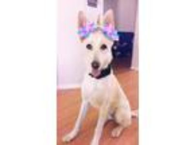 Adopt Luna a White - with Tan, Yellow or Fawn German Shepherd Dog / Labrador