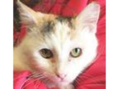 Adopt Honey a Domestic Short Hair, Calico