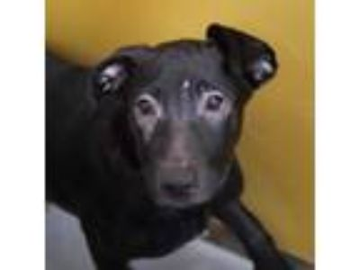 Adopt *DAISY a Black - with White American Pit Bull Terrier / Labrador Retriever